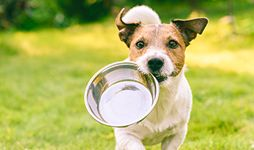 Jack Russell carrying a feeding bowl.